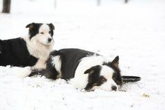 Border collies in winter Stock Photos