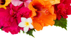 Border of colorful hibiscus flowers Royalty Free Stock Image