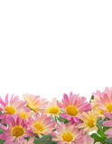 Border of colorful mums Royalty Free Stock Photos