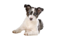 Border coolie puppy Royalty Free Stock Photo