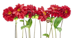 Border from darkly red dahlias. Flowers isolated royalty free stock images