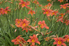 Border Day Lilies Buds Stock Photography
