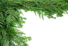 Border from evergreen boughs. A holiday border from evergreen branches Royalty Free Stock Photos