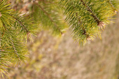 Border of Evergreen Spruce Branch on Background of Forest FLoor Royalty Free Stock Image