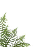 Border of ferns. Isolated on white background,pleasehave a look at my similar images about this theme stock images