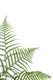 Border of ferns Royalty Free Stock Image