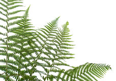 Border of ferns. Isolated on white background,please have a look at my similar images about this theme stock images