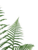 Border of ferns. Isolated on white background,pleasehave a look at my similar images about this theme Stock Photos