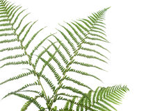 Border of ferns. Isolated on white background,pleasehave a look at my similar images about this theme Royalty Free Stock Photo