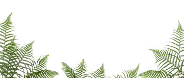 Border of ferns. Isolated on white background,please have a look at my similar images about this theme stock image