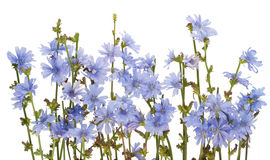 Border from field wild cornflowers Royalty Free Stock Image