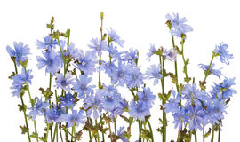 Border from field wild cornflowers Stock Images