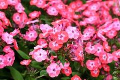 Border flowers Phlox Paniculata Royalty Free Stock Image