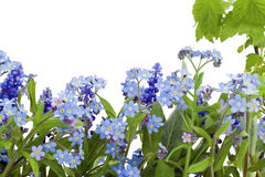 Border from forget-me-nots (Myosotis) Stock Photography