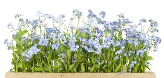 Border from Forget-me-nots (Myosotis) Stock Photo