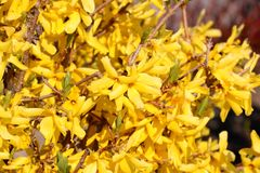 Border forsythia branch in springtime is an ornamental deciduous shrub of garden origin. Golden Bell. Soft focus and blurry. Border forsythia branch in stock photos