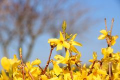 Border forsythia branch in springtime is an ornamental deciduous shrub of garden origin. Golden Bell. Soft focus and blurry. Border forsythia branch in stock images