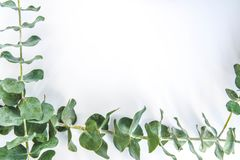Border of fragrant eucalyptus branches. Fresh and fragrant green stems of eucalyptus border three sides of a white background with copy space royalty free stock images