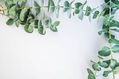 Border of fragrant eucalyptus branches. Fresh and fragrant green stems of eucalyptus border two sides of a white background with copy space stock photos
