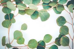 Border of fragrant eucalyptus branches. Fresh and fragrant green stems and leaves of eucalyptus border a white background with copy space stock images
