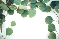 Border of fragrant eucalyptus branches. Fresh and fragrant green stems and leaves of eucalyptus border a white background with copy space stock photos