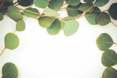 Border of fragrant eucalyptus leaves. Fresh and fragrant green stems of eucalyptus border two sides of a white background with copy space stock photography