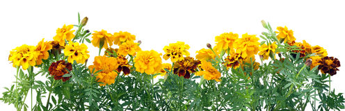 Border from  French Marigold Stock Photo