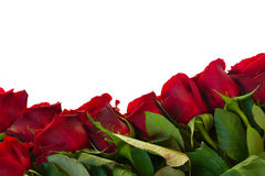 Border of fresh crimson red  garden roses Royalty Free Stock Photo