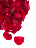 Border of fresh crimson red  garden roses Stock Images