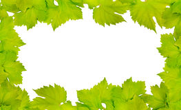 Border of fresh grape leaves. Isolated on white royalty free stock photo