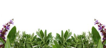 Border of Fresh Herbs. Oregano, sage, and rosemary form this border of fresh herbs, with white background royalty free stock photography