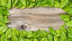 Border of fresh large basil leafs on aged wood. High angled view of freshly picked large basil leafs forming border on rustic wood Royalty Free Stock Images