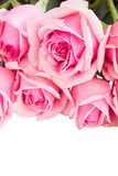Border of fresh pink garden roses Royalty Free Stock Images