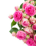 Border of  fresh pink roses close up Royalty Free Stock Image