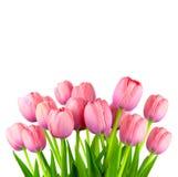 Border of Fresh Pink Tulips,  fresh flowers  isolated on white Stock Photos