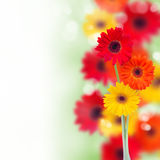 Border of garden herbera flowers. R isolated on white background Royalty Free Stock Photos