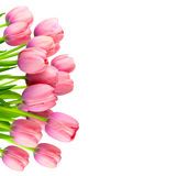 Border of Gentle Pink Tulips,  fresh flowers   on white Royalty Free Stock Photo