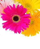 Border of gerbera flowers Stock Photos