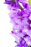 Border of gladiolus flowers Royalty Free Stock Image