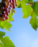 Border of grapes Stock Image
