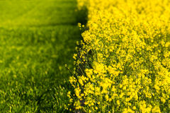 Border between grassland and meadow of yellow rape blossoms Royalty Free Stock Photography