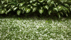 Border of hosts and grass strewn with petals. Border of white-green hosts and grass strewn with white petals Royalty Free Stock Image