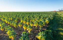 Border of a large field with cultivation of Brussels sprouts Royalty Free Stock Images