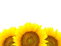 Border of large Sunflowers isolated on white  / flowers frame Stock Photo