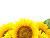 Border of large Sunflowers with  One green leaf Stock Photo
