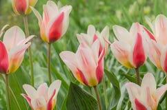 Border legend tulip. Beautiful spring flowers Royalty Free Stock Photos