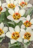 Border legend tulip. Beautiful spring flowers Royalty Free Stock Image