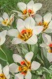 Border legend tulip. Beautiful spring flowers Stock Photos
