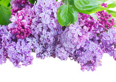 Border of Lilac flowers Stock Images