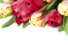 Red and yellow tulips border. Border made of red and yellow tulips isolated on white background royalty free stock images